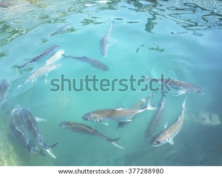 Swimming fish/tropical fish/fish farming/pompano scad fish/Giant scad fish/Jack fish/Bigeye trevally,Dusky Jack /school of fish under sea/tasty seafood - stock photo