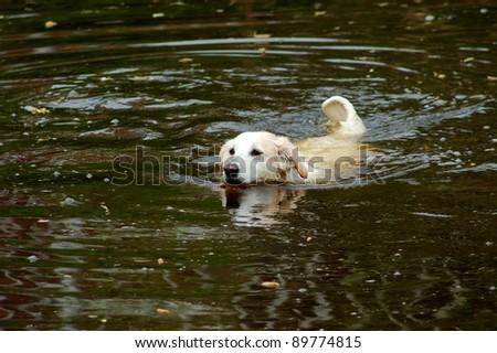 Swimming golden retriever - stock photo