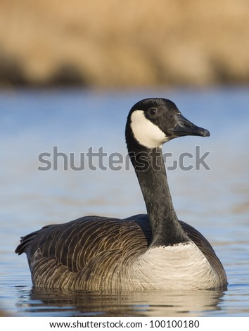 Swimming Goose - stock photo