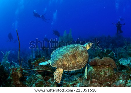 Swimming Hawksbill Turtle with divers in backdrop, Grand Cayman - stock photo