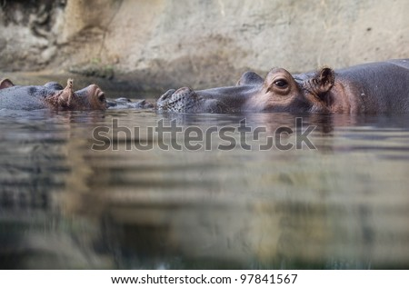 swimming hippopotamus at water level