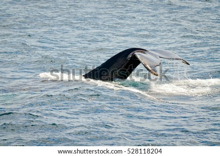 Swimming humpback whale in sunny day