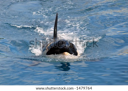 swimming killer whale - stock photo