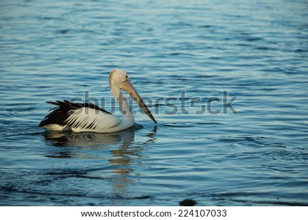 swimming pelican at sunset