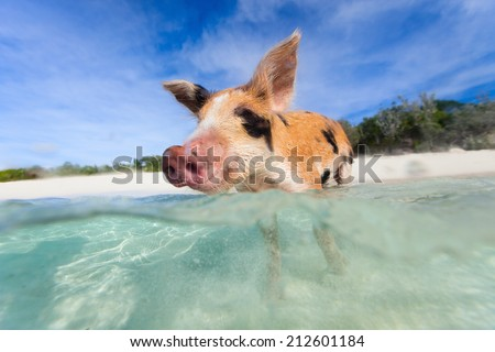 Swimming piglet in a water at beach on Exuma island Bahamas - stock photo