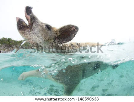Swimming Pigs in the Bahamas at Pig Island - stock photo