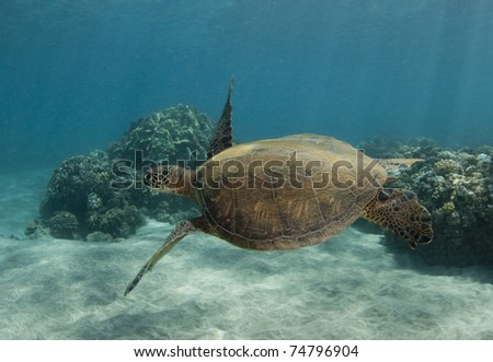 Swimming Sea Turtle With Flippers Out - stock photo