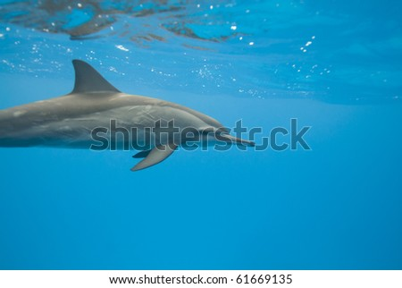 Swimming Spinner dolphin (Stenella longirostris). Sataya, Southern Red Sea, Egypt.