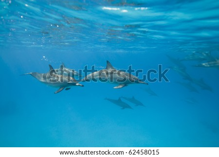 Swimming Spinner dolphins in the wild (Stenella longirostris). Sataya, Southern Red Sea, Egypt. - stock photo