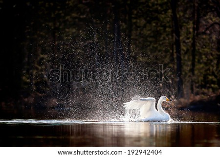Swimming swan splashing water, surrounded by silvery water drops - stock photo