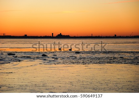 Swimming swans by sunset with the skyline of the city Kalmar in Sweden by the horizon