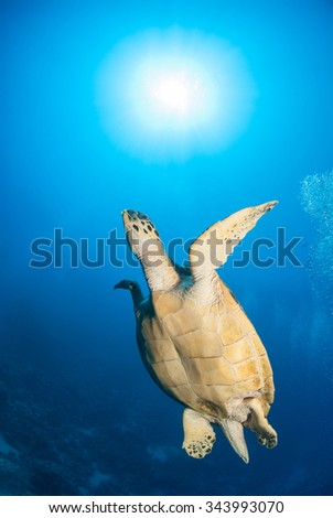swimming turtle in clean water - stock photo
