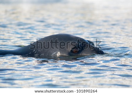 Swimming Weddell Seal - stock photo