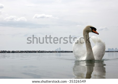 swimming white swan  / wild animal