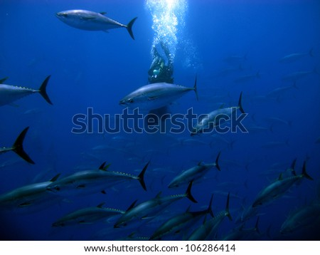 Swimming with tunas in the ocean - stock photo