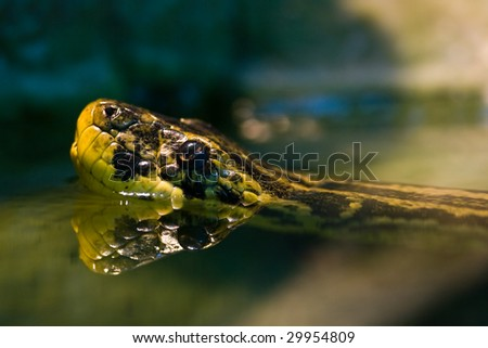 Swimming Yellow anaconda, native to South American swamps and marshes - stock photo