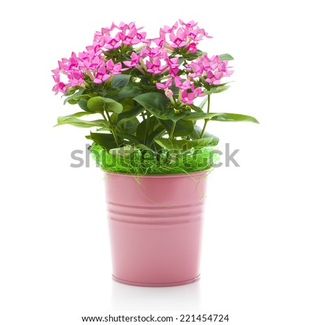 SWINDON, UK - OCTOBER 4, 2014: Beautiful Pink Plant in a Pink Metal Pot on a White Background - stock photo