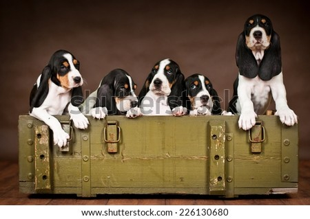 Swiss Bernese Hound dog puppies box - stock photo