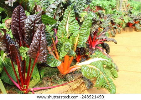Swiss chard color in vegetable garden - stock photo