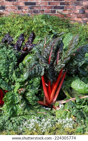 Swiss chard, unusual organic vegetable with red stems growing in a walled vegetable garden , large , glossy and textured leaves  - stock photo