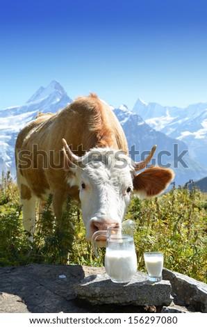Swiss cow and milk - stock photo