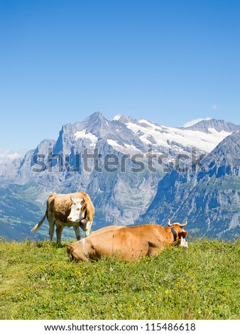 Swiss cows in the alps - stock photo