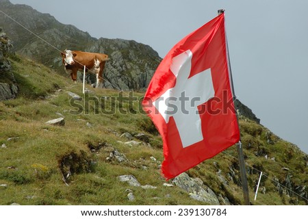Swiss flag flapping on wind and cow on meadow on Sustenpass in Alps in Switzerland.