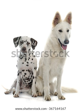 swiss shepherd and dalmatian in front of white background