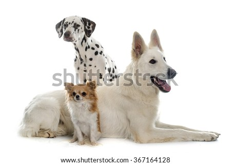 swiss shepherd, chihuahua and dalmatian in front of white background