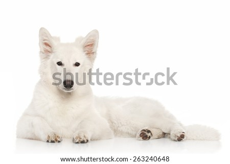 Swiss Shepherd dog lying down against white background - stock photo