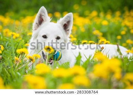 Swiss shepherd dog lying on the field with dandelions