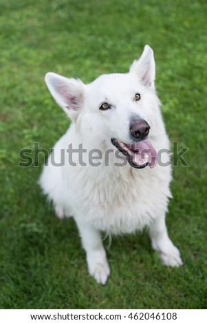 Swiss Shepherd sitting in the pasture.
