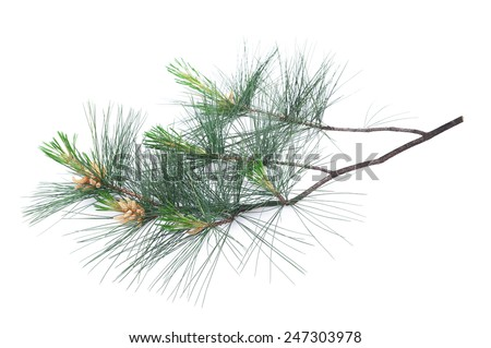 Swiss stone pine branch isolated on white - stock photo