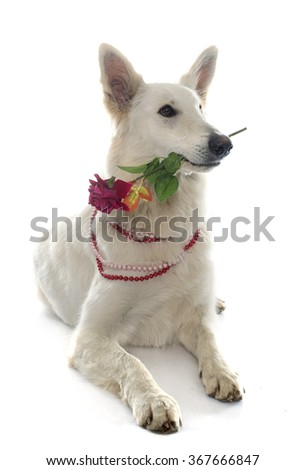 swiss white shepherd and flower in front of white background