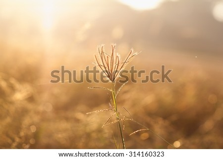 Swollen finger grass in morning light