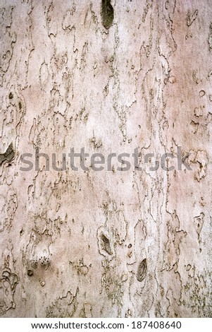sycamore bark is finely drawn - stock photo
