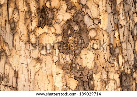 Sycamore Bark Texture - weathered wood background for your design. - stock photo