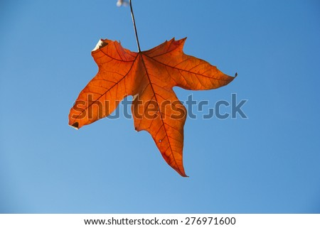 Maple Leaf vs Sycamore Leaf Sycamore Maple Leaf Red Autumn