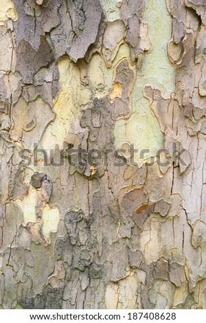sycamore tree bark detail - stock photo