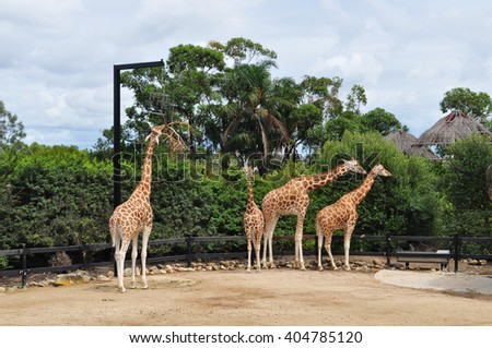 SYDNEY, AUSTRALIA - MARCH 2, 2014: Giraffes at Taronga Zoo. Taronga Zoo is the city zoo of Sydney, New South Wales, Australia and is located on the shores of Sydney Harbour.