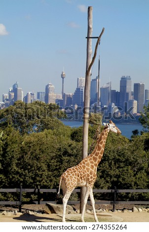 SYDNEY, AUSTRALIA - MAY 10: Giraffe in Taronga zoo and skyline of the city in background, on May 10, 2010 in Sydney, Australia