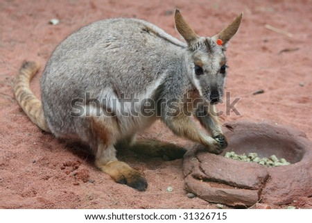 Sydney: cute kangaroo staring at the camera - stock photo