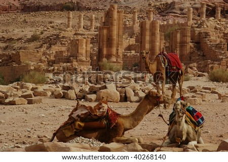 symbol of africa and the middle east ,transport, travel and adventure the camel in front of the carved ruins of petra jordan - stock photo