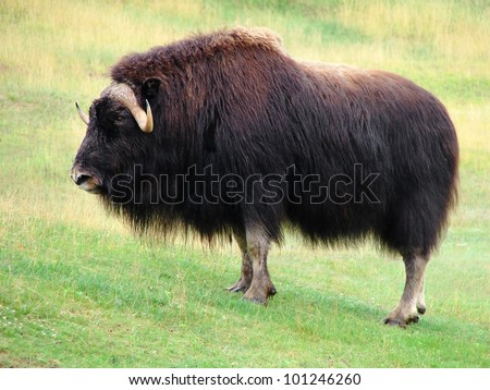 Symbol of strength, beautiful and impressive male musk ox standing in the prairie, looking at camera. - stock photo