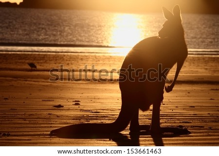 symbol s of Australia the beach and kangaroo a rare sight together and in silhouette