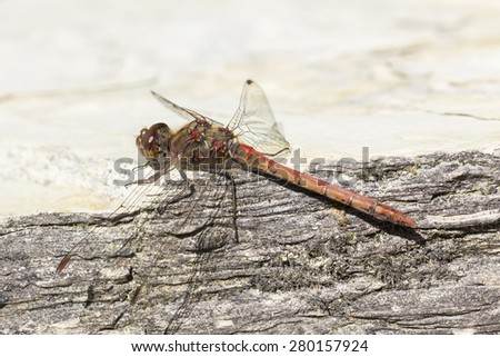 Sympetrum striolatum, Common darter, dragonfly from Lower Saxony, Germany, Europe - stock photo