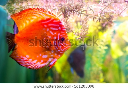 Symphysodon discus in an aquarium on a green background - stock photo