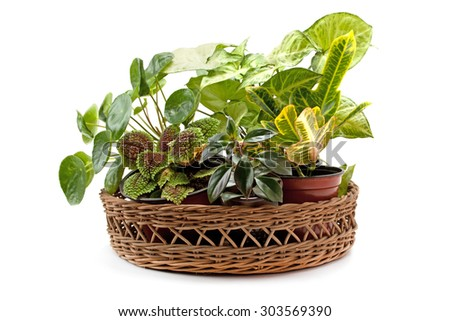 Syngonium croton and other indoor flowers arranged in basket isolated on white background