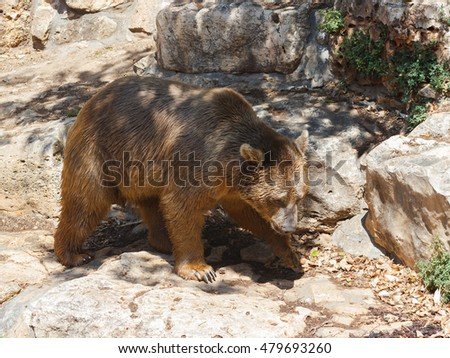 Syrian bear - Ursus arctossyriacus - walking around and looking for food