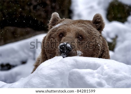 Syrian brown bear (Ursus arctos syriacus) in the snow, peekaboo. - stock photo